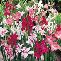 Gladioli Corms - Nanus Mix