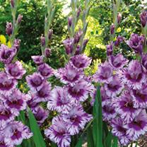 Gladiolus Very Large-Flowered - PASSO