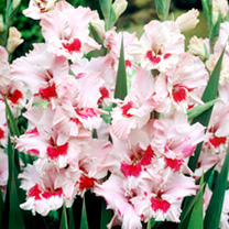 Gladioli Corms - That's Love