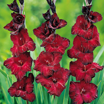 Gladioli Corms - Mexico