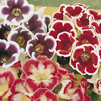 Gloxinia Tubers - Mixed