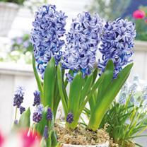 Hyacinth Bulbs  Blue