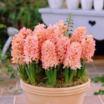 Hyacinth Bulbs - Gypsy Queen
