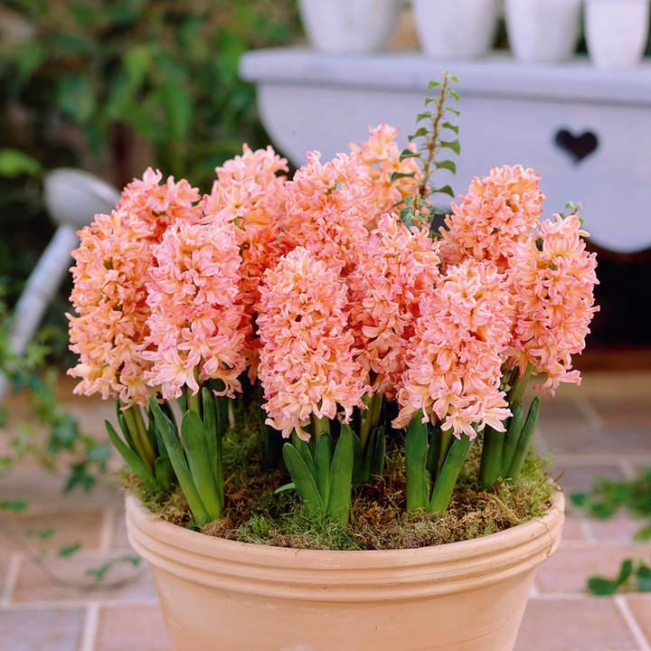 Hyacinth Bulbs - Gypsy Queen