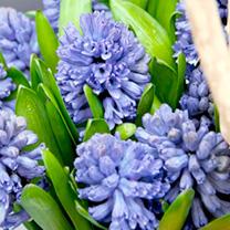 Hyacinth (Hyacinthus) Delft Blue Bulbs