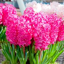 Hyacinth (Hyacinthus) Jan Bos Bulbs