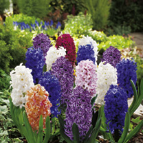 Hyacinth Bulbs - Collection