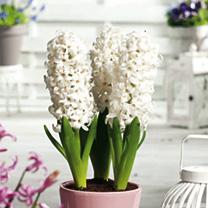 Hyacinth (Hyacinthus) LInnocence Bulbs