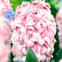 Seeds & Bulbs Hyacinth Prince of Love (<i>Hyacinthus</i>)