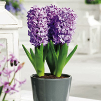 Hyacinth Bulbs (Indoor) - Splendid Cornelia