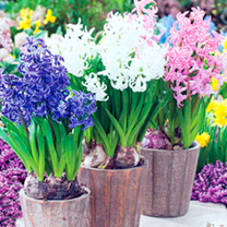 Hyacinth Bulbs - Multi-stemmed