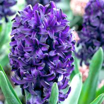 Hyacinth Bulbs - Pacific Ocean