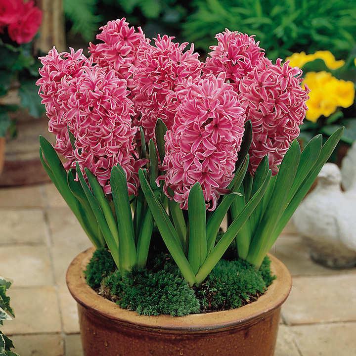 Hyacinth Bulbs Collection Dobies