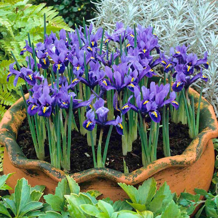 iris reticulata bulbs harmony dobies. Black Bedroom Furniture Sets. Home Design Ideas