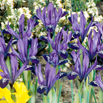 Iris reticulata Bulbs - Purple Gem
