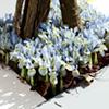 Iris Bulbs - Katharine Hodgkin