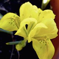 Iris Bulbs - Danfordiae