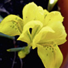 Iris Bulbs - Danfordiae