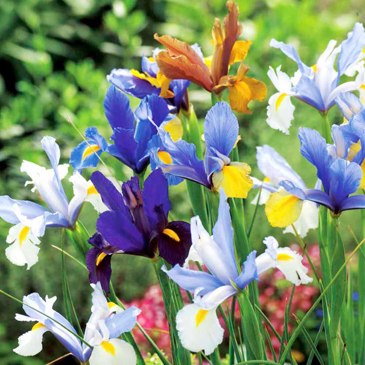 100 Days Flowering Bulbs - Collection