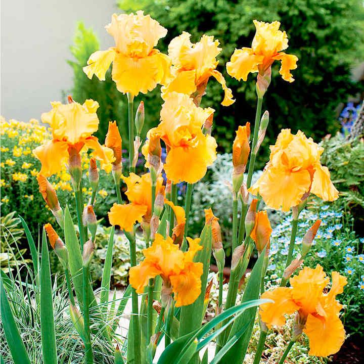 Iris Plants - Apricot Silk