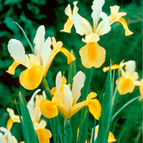 Iris Hollandica Bulbs - Symphony