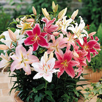 Lily Bulbs - Red/White/Pink Dwarf Collection