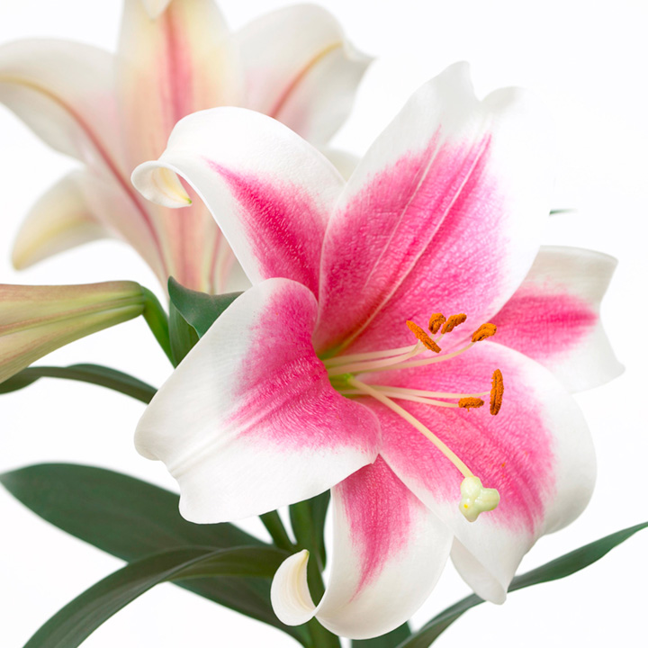 Lily Bulbs - Triumphator