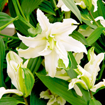 Lily Bulbs - Polar Star