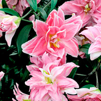 Lily Bulbs - Sweet Rosy