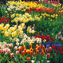Bumper Spring Bulbs - Collection