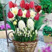 Scented Spring Bulbs in Round Wicker Planter