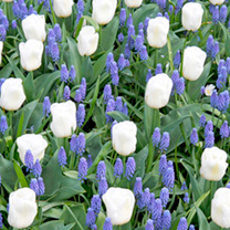 Muscari & Tulip Bulbs - Waterfall Mix