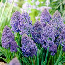 Grape Hyacinth (Muscari) Fantasy Creation Bulbs