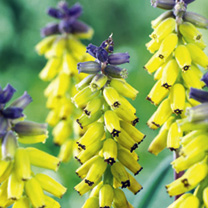 Muscari Bulbs - Golden Fragrance
