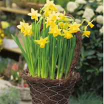 Narcissus Bulbs - Tete-a-Tete