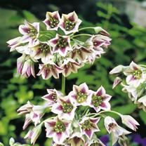 Allium Nectaroscordum Bulbs - Sicilum