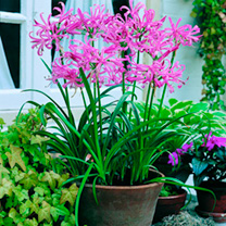 Nerine Potted Bulbs - Collection