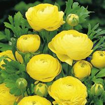 Ranunculus Bulbs - Yellow