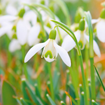 Snowdrop Nivalis Bulbs - In The Green