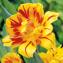 Tulip Bulbs - Monsella