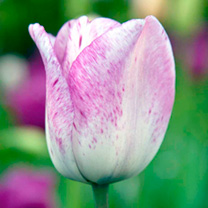Tulip Shirley (Triumph)