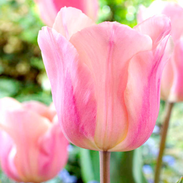 Tulip Apricot Beauty (Single)