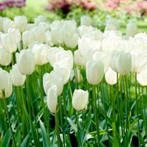 Tulip Maureen Bulbs