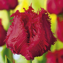 Tulip Barbados (Fringed) Bulbs