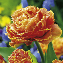 Tulip Sensual Touch (Fringed) Bulbs
