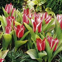 Tulip Bulbs - Pinocchio
