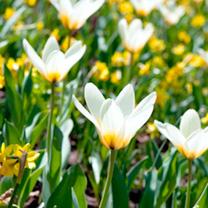 Tulip Bulbs - Concerto