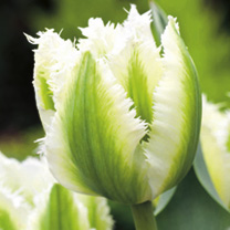 Tulip Snow Valley (Fringed)