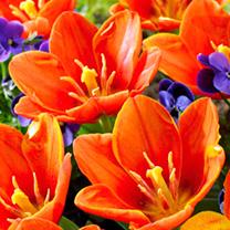 Tulip Bulbs - Love Song