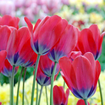 Tulip Bulbs - Poppie